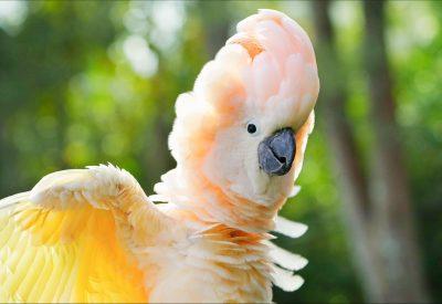 cockatoo cost